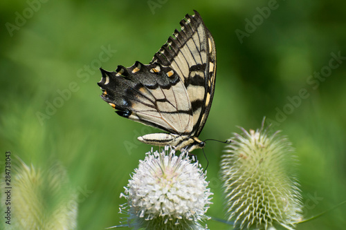 Butterfly 2019-95 / Tiger Swallowtail (Papilio glaucus)