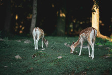 Two Doe Eating Grass In The Fo...