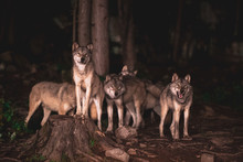 Wolf Pack Waiting For Food At ...