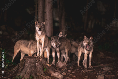 Photo wolf pack waiting for food at night