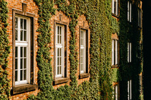 Green Ivy Covers Brick Wall With Windows