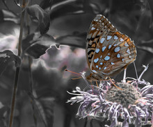 Great Spangled Fritillary Butterfly On A Flower
