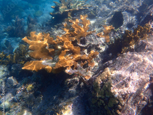 An underwater photo of a beautifully patterned Elkhorn coral. Wallpaper Mural