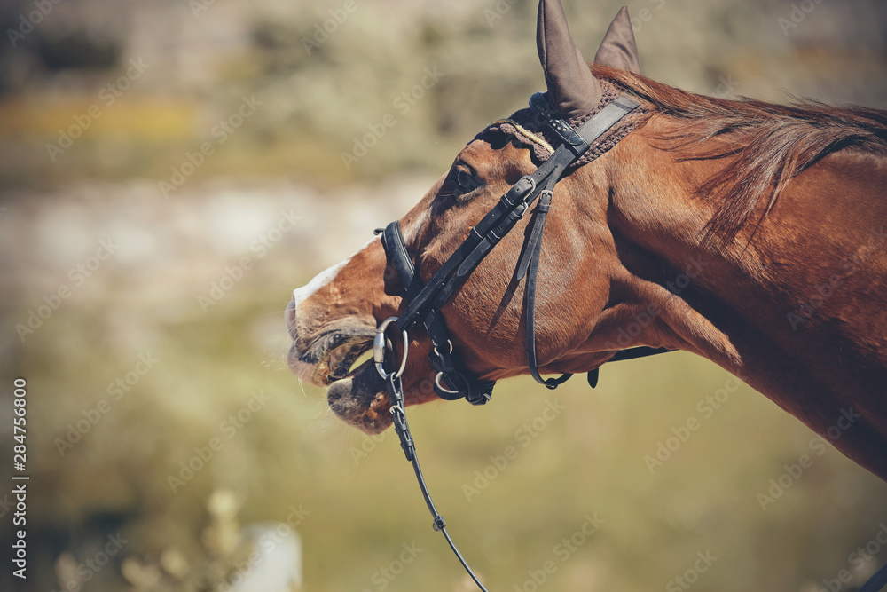 Fototapeta The muzzle is sports red stallion in the bridle. Dressage horse.