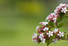 Horizontal Closeup Of The Flowers Of Abelia Mosanensis, A Deciduous Shrubs With Fragant Blooms In Late Spring
