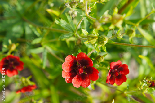 Fotografering Potentilla atrosanguinea or himalayan cinquefoil red flowers with green leaves