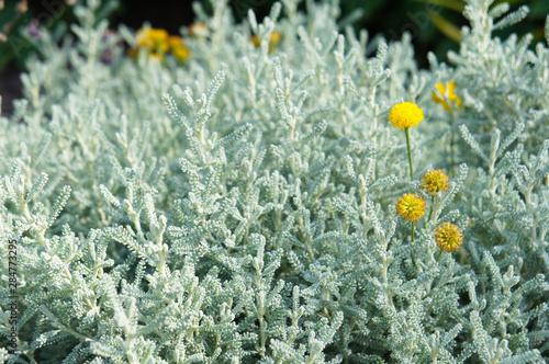 Valokuva santolina chamaecyparissus incana cotton lavender plant