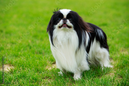 Photographie Japanese chin breed dog
