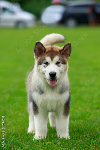 Dog breed Alaskan Malamute Canvas Print