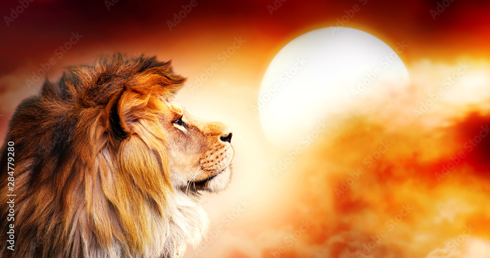 Fototapeta African lion and sunset in Africa. African savannah landscape theme, king of animals. Spectacular warm sun light and dramatic red cloudy sky. Proud dreaming fantasy lion in savanna looking forward.