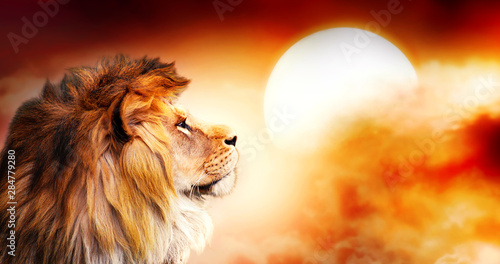 Poster de jardin Lion African lion and sunset in Africa. African savannah landscape theme, king of animals. Spectacular warm sun light and dramatic red cloudy sky. Proud dreaming fantasy lion in savanna looking forward.