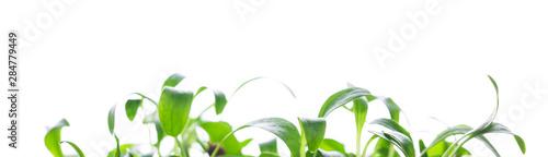 Fototapeta Microgreen, sprouts, young herbs obraz