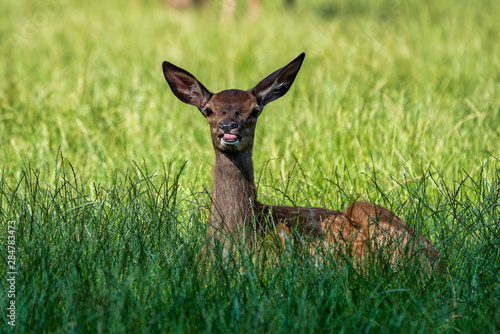 Foto auf Leinwand Reh Roe Deer, Capreolus capreolus lives mostly in Germany and France