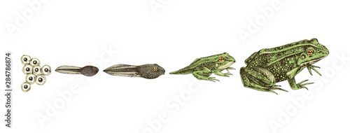 Fotografie, Obraz Hand drawn colorful frog metamorphosis