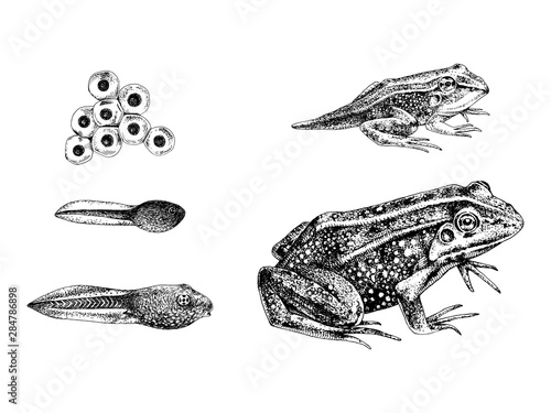 Fotografija  Hand drawn frog metamorphosis