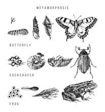 Metamorphosis Of The Swallowta...