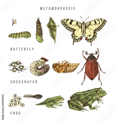 Fototapeta  Metamorphosis of the swallowtail, cockchafer and frog