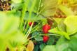 Leinwandbild Motiv Strawberries on strawberry plant close up in the morning light