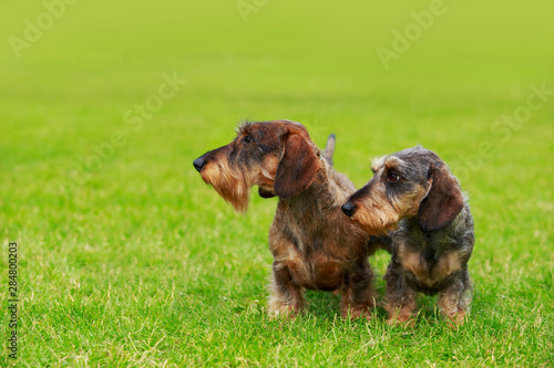 Cadres-photo bureau Chasse Dog breed Wire haired dachshund