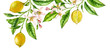 Leinwandbild Motiv Lemon fruit branch top corner composition. Realistic botanical watercolor illustration with citrus tree and flowers, hand drawn isolated floral design on white
