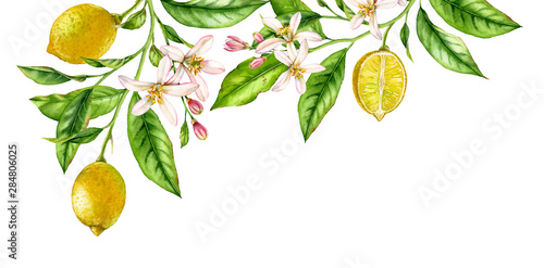 Lemon fruit branch top corner composition. Realistic botanical watercolor illustration with citrus tree and flowers, hand drawn isolated floral design on white