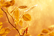 Autumn Leaves With Water Drops And Spider Web At Sunset Over Blurred Background.