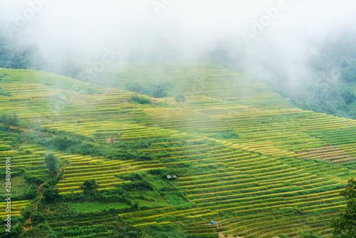 Fotobehang Rijstvelden Terraced rice field landscape in harvesting season with low clouds in Y Ty, Bat Xat district, Lao Cai, north Vietnam