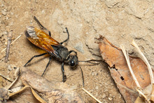 Image Of Sand Digger Wasp On The Ground Background., Insect. Animal.
