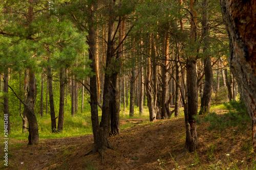 Aluminium Prints Birch Grove beautiful tree in a summer green forest