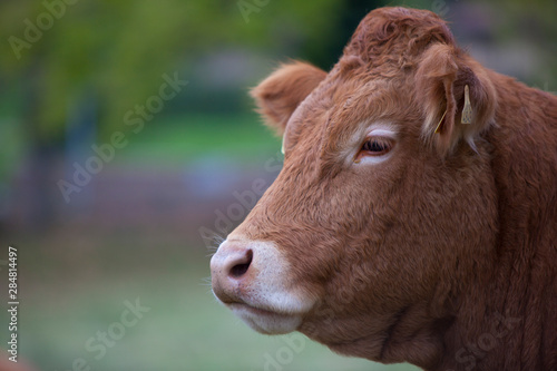 Fotografía vaca