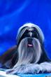 Leinwandbild Motiv Dog breed Shih Tzu