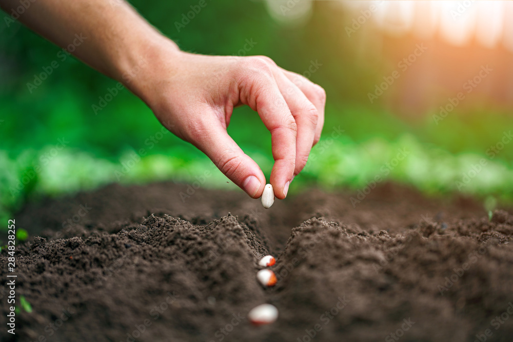 Fototapety, obrazy: Hand planting beans seed in the vegetable garden. Growing vegetables