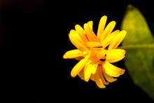 Calendula, Medicinal Plant Wit...