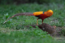 Two Golden Pheasants Male And Female