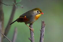Small Bird With Red Bill Sit On Tree Branch