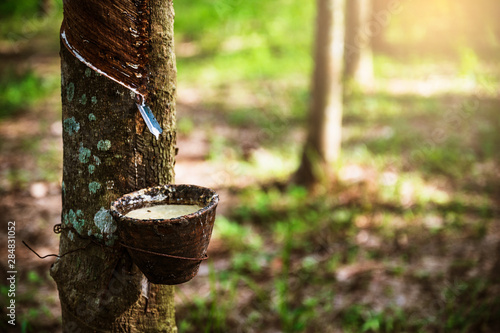 Cuadros en Lienzo  Tapping latex rubber tree, Rubber Latex extracted from rubber tree, harvest in Thailand