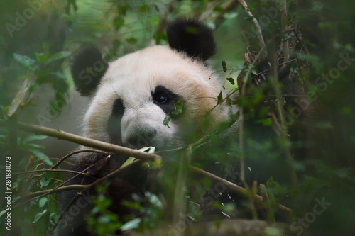 Photo Close up of a Giant panda in a tree