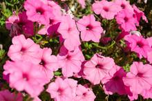 Closeup Of Pink Petunia Flowers Bloom In The Garden
