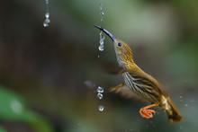 Streaked Spiderhunter Bird With Water Drops