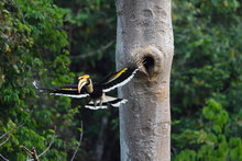 Great Hornbill Fly In Forest
