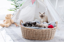 Group Of Kitten Sleep In The Wooden Basket With Her Mother At Behind.