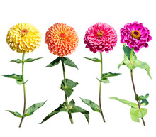 Beautiful Colorful Zinnia Eleg...