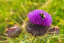 Spear Thistle (cirsium Vulgar) Wild Spiky Purple Flower In The Mountain With Bee