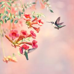 Fototapeta Ptaki Ruby Throated Hummingbirds Hover Over Trumpet Vine