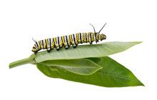 Monarch Caterpillar On Milkweed Leaf Isolated On White