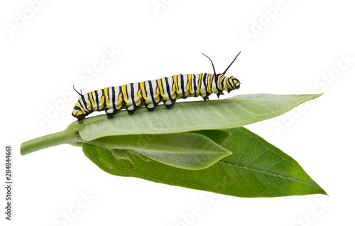 Fotomural  Monarch Caterpillar on milkweed leaf isolated on white