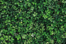 Dark Green Leaves Foliage In T...