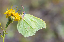 The Macro Shot Of The Beautiful Green Butterfly On The Little Yellow Flower In The Warm Sunny Summer Weather