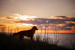 canvas print picture toller dog at sunset by the sea. Nova Scotia Duck Tolling Retriever is on vacation. Pet Travel