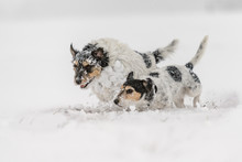 Jack Russell Terrier Dog In The Snow. Funny Dogs Running In Front Of White Background